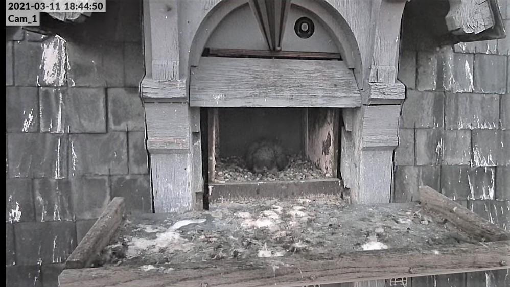Les faucons pèlerins d'Illkirch-Graffenstaden. Lucky en Valentine. - Pagina 5 1844b_10