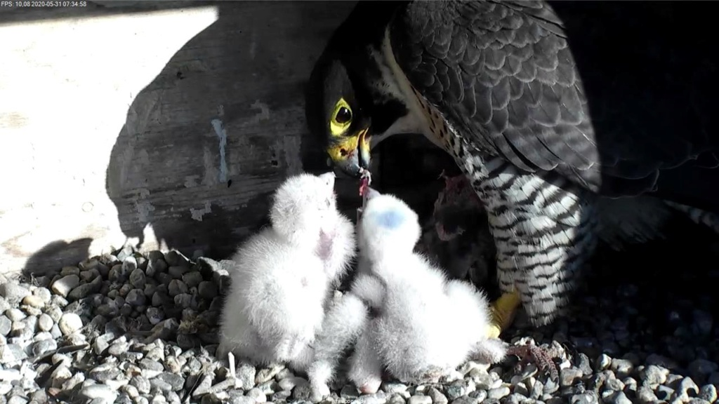 UdeM. Falcons. Eve (ongeringd) ~ Eole (bl E/83 ).New Male Sphinx (ongeringd)  6. april - Pagina 4 84485110