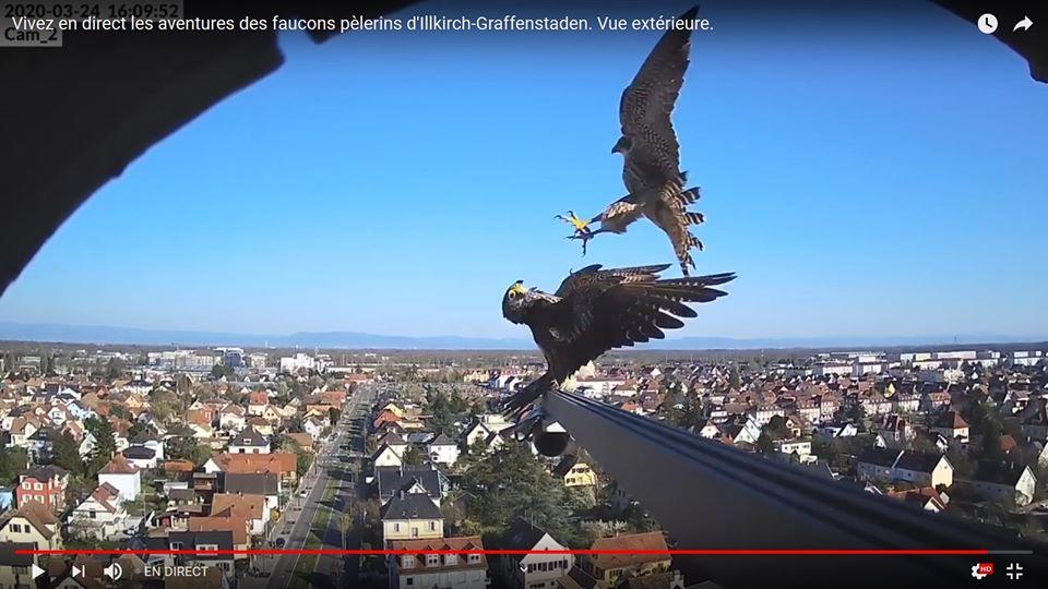 Les faucons pèlerins d'Illkirch-Graffenstaden. Flashblack en Valentine. - Pagina 9 90780010