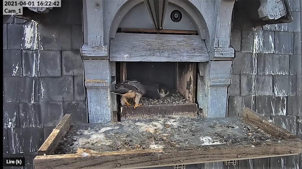 Les faucons pèlerins d'Illkirch-Graffenstaden. Lucky en Valentine. - Pagina 6 Captu100