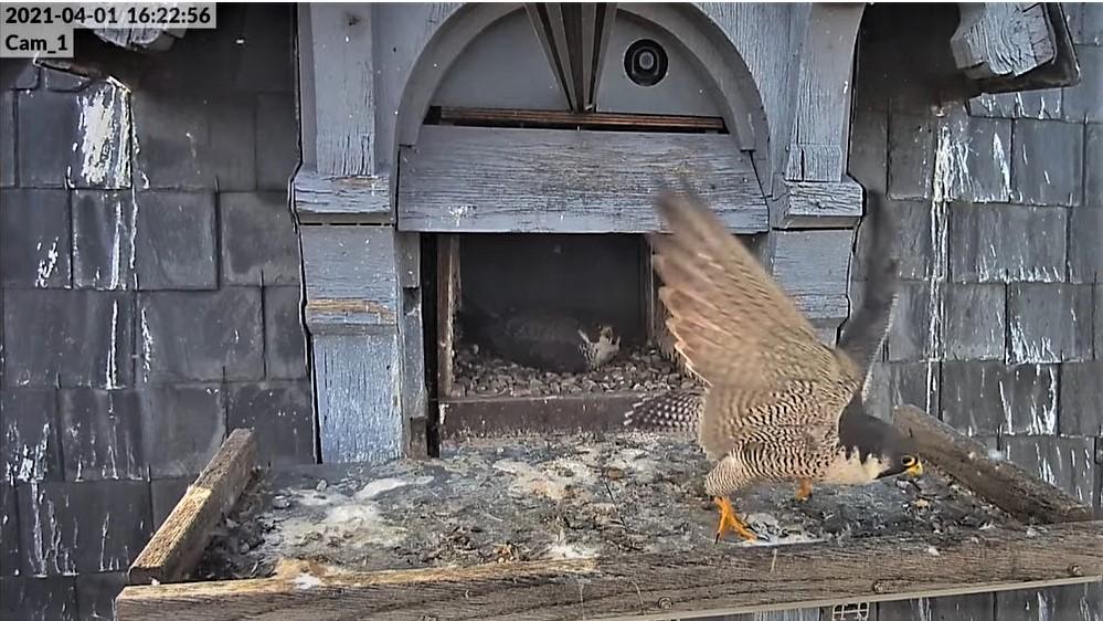 Les faucons pèlerins d'Illkirch-Graffenstaden. Lucky en Valentine. - Pagina 6 Captu101