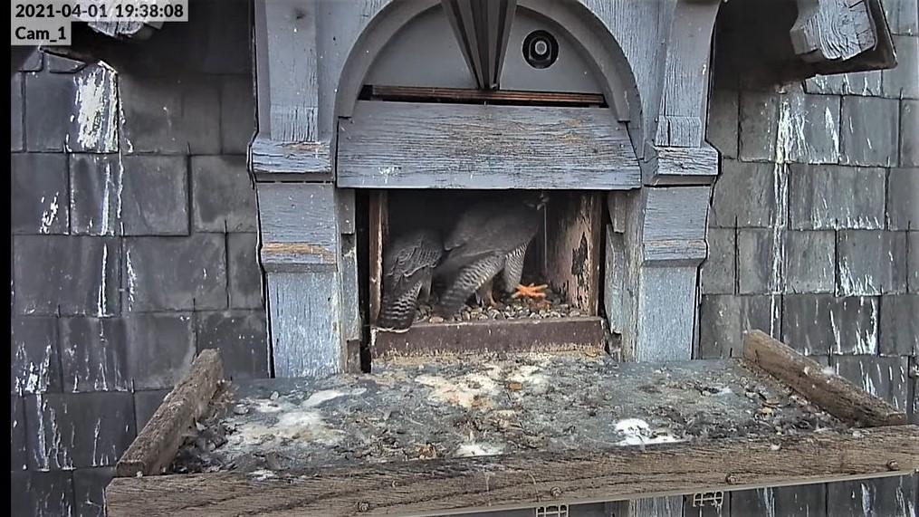 Les faucons pèlerins d'Illkirch-Graffenstaden. Lucky en Valentine. - Pagina 6 Captu102