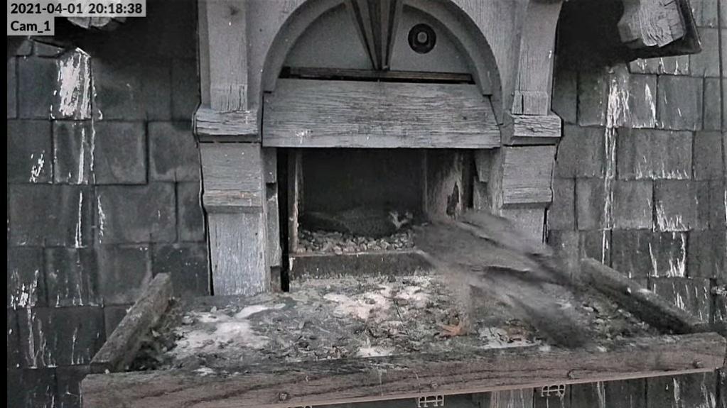 Les faucons pèlerins d'Illkirch-Graffenstaden. Lucky en Valentine. - Pagina 6 Captu107