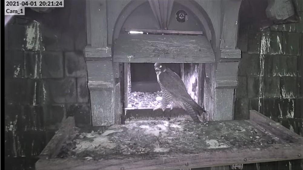 Les faucons pèlerins d'Illkirch-Graffenstaden. Lucky en Valentine. - Pagina 6 Captu108