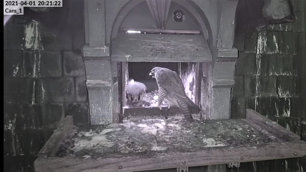 Les faucons pèlerins d'Illkirch-Graffenstaden. Lucky en Valentine. - Pagina 6 Captu109
