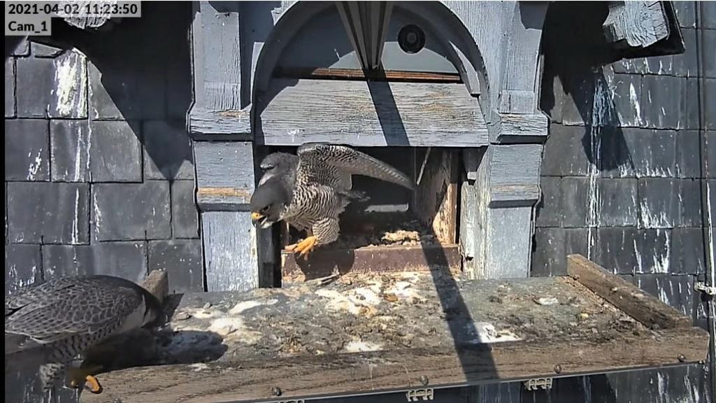 Les faucons pèlerins d'Illkirch-Graffenstaden. Lucky en Valentine. - Pagina 6 Captu112