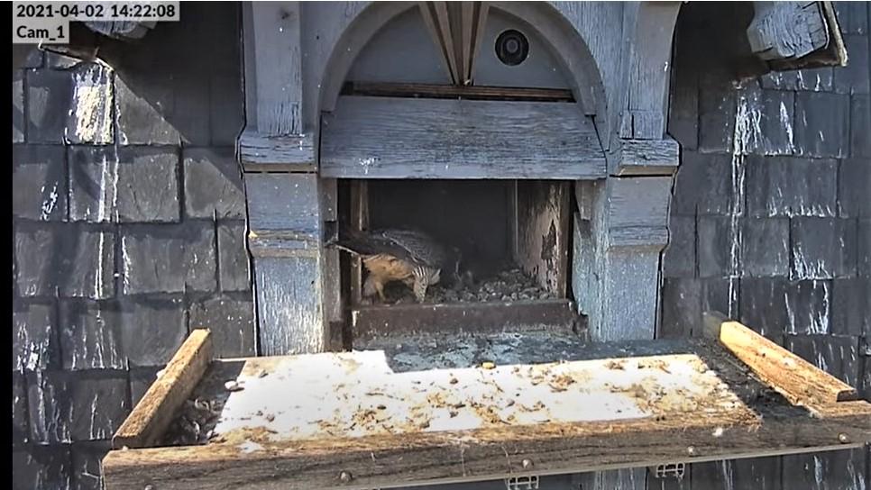 Les faucons pèlerins d'Illkirch-Graffenstaden. Lucky en Valentine. - Pagina 6 Captu115