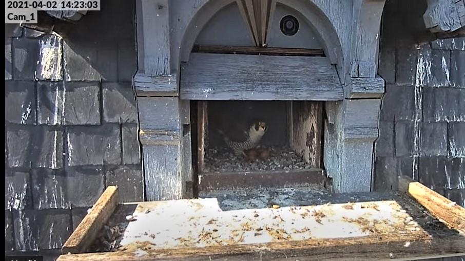 Les faucons pèlerins d'Illkirch-Graffenstaden. Lucky en Valentine. - Pagina 6 Captu116