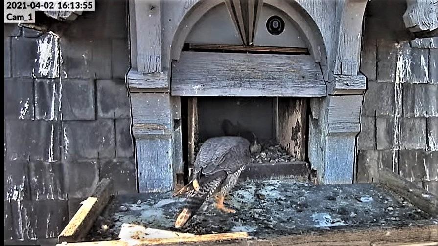 Les faucons pèlerins d'Illkirch-Graffenstaden. Lucky en Valentine. - Pagina 6 Captu119