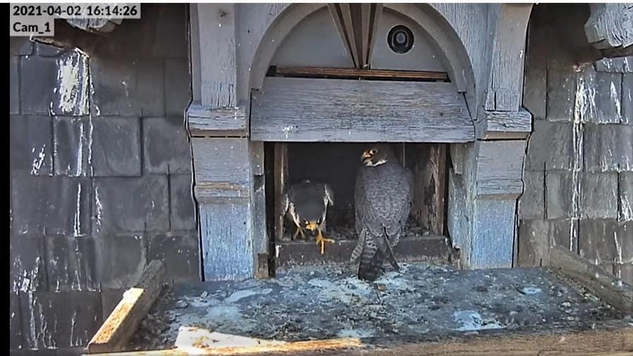 Les faucons pèlerins d'Illkirch-Graffenstaden. Lucky en Valentine. - Pagina 6 Captu121