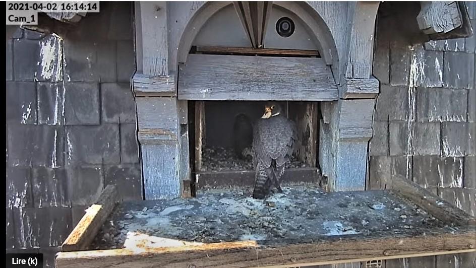 Les faucons pèlerins d'Illkirch-Graffenstaden. Lucky en Valentine. - Pagina 6 Captu122