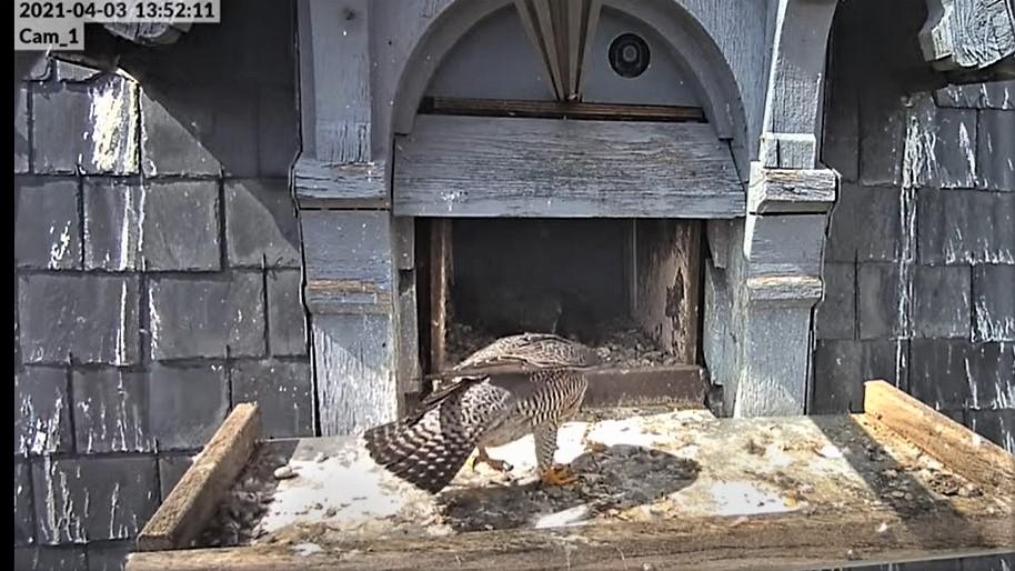 Les faucons pèlerins d'Illkirch-Graffenstaden. Lucky en Valentine. - Pagina 6 Captu124