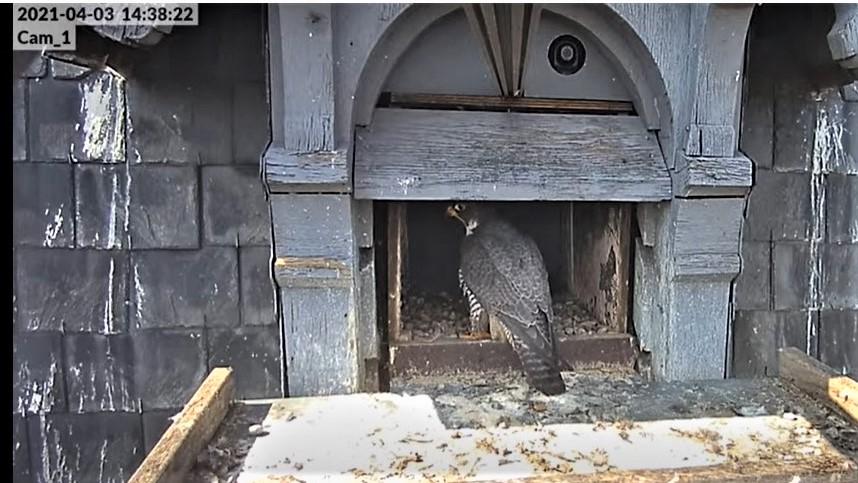 Les faucons pèlerins d'Illkirch-Graffenstaden. Lucky en Valentine. - Pagina 6 Captu126