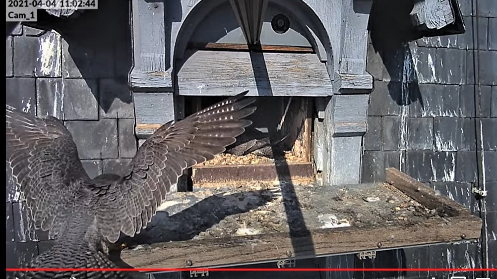 Les faucons pèlerins d'Illkirch-Graffenstaden. Lucky en Valentine. - Pagina 6 Captu128