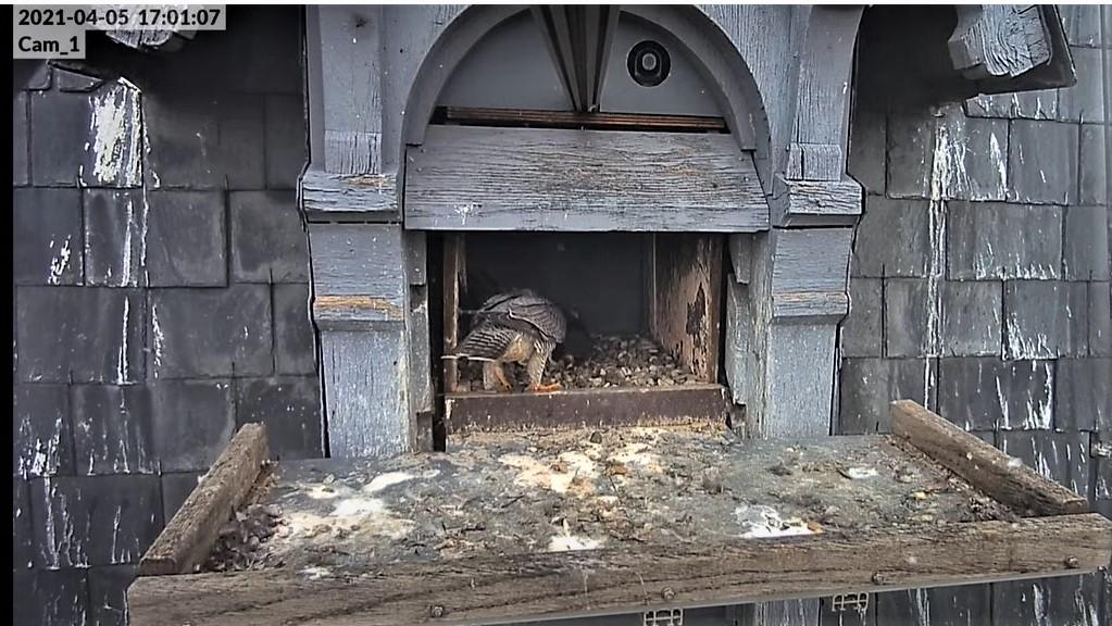 Les faucons pèlerins d'Illkirch-Graffenstaden. Lucky en Valentine. - Pagina 6 Captu135