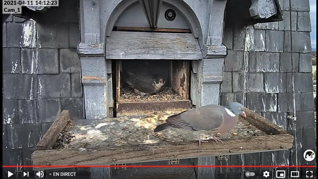 Les faucons pèlerins d'Illkirch-Graffenstaden. Lucky en Valentine. - Pagina 7 Captu170