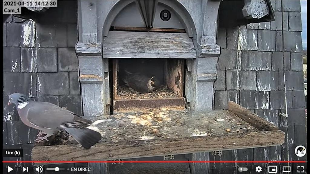 Les faucons pèlerins d'Illkirch-Graffenstaden. Lucky en Valentine. - Pagina 7 Captu173