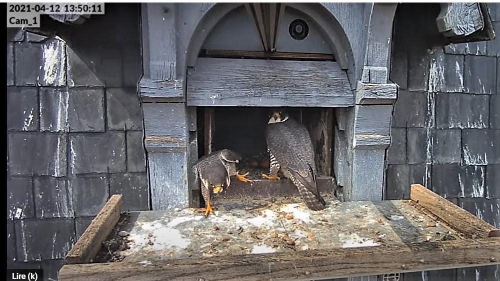 Les faucons pèlerins d'Illkirch-Graffenstaden. Lucky en Valentine. - Pagina 7 Captu179