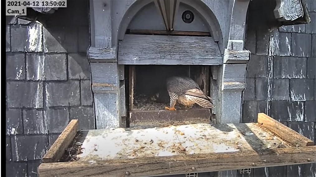 Les faucons pèlerins d'Illkirch-Graffenstaden. Lucky en Valentine. - Pagina 7 Captu180
