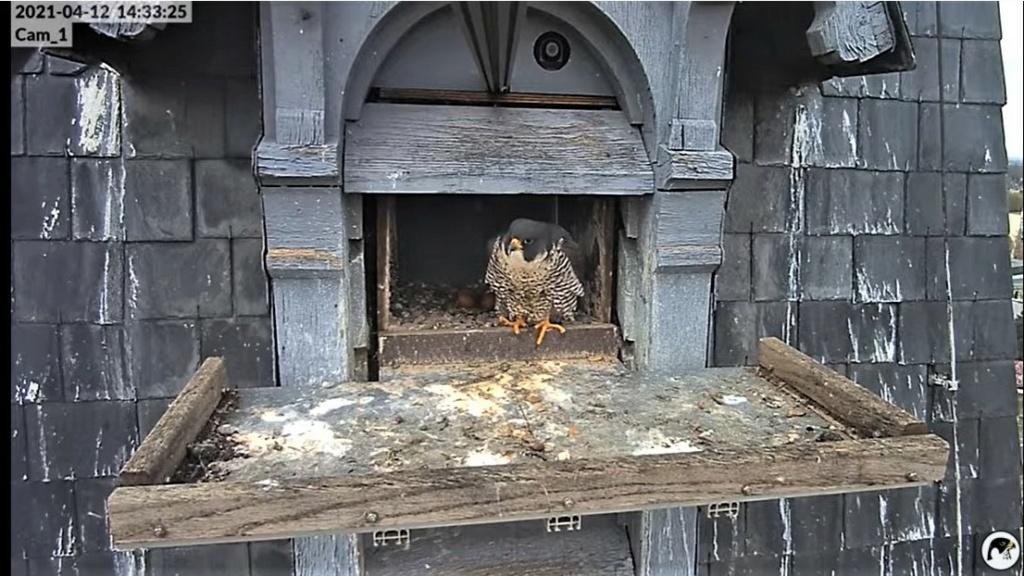 Les faucons pèlerins d'Illkirch-Graffenstaden. Lucky en Valentine. - Pagina 7 Captu182