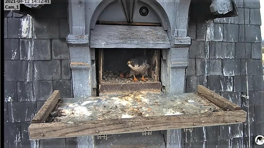 Les faucons pèlerins d'Illkirch-Graffenstaden. Lucky en Valentine. - Pagina 7 Captu183