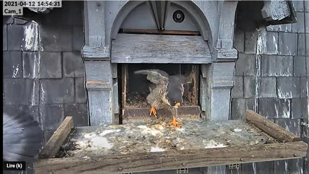 Les faucons pèlerins d'Illkirch-Graffenstaden. Lucky en Valentine. - Pagina 7 Captu185