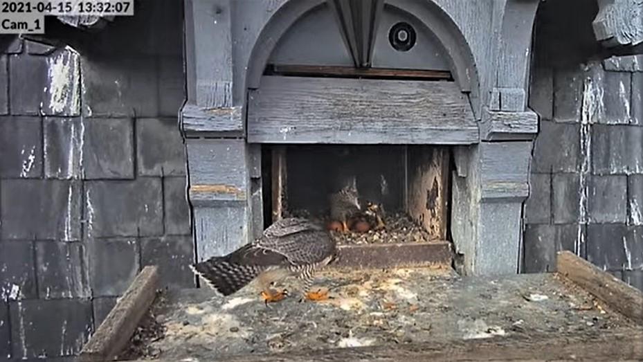 Les faucons pèlerins d'Illkirch-Graffenstaden. Lucky en Valentine. - Pagina 8 Captu206
