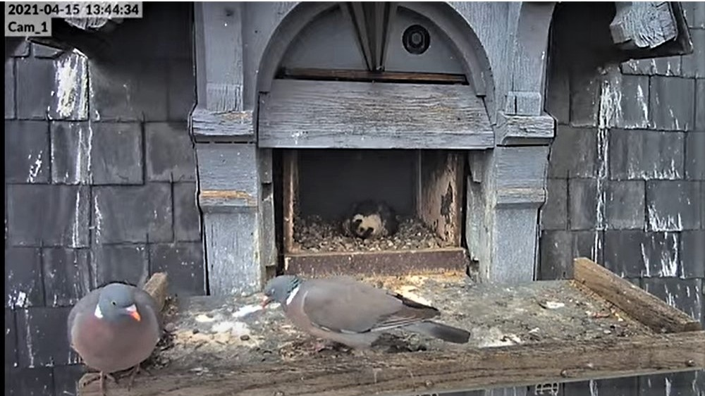 Les faucons pèlerins d'Illkirch-Graffenstaden. Lucky en Valentine. - Pagina 8 Captu207