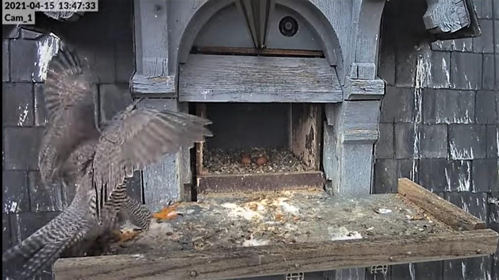 Les faucons pèlerins d'Illkirch-Graffenstaden. Lucky en Valentine. - Pagina 8 Captu208
