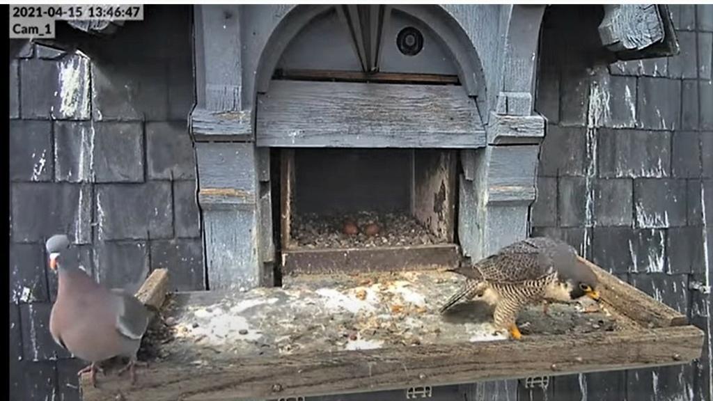 Les faucons pèlerins d'Illkirch-Graffenstaden. Lucky en Valentine. - Pagina 8 Captu209
