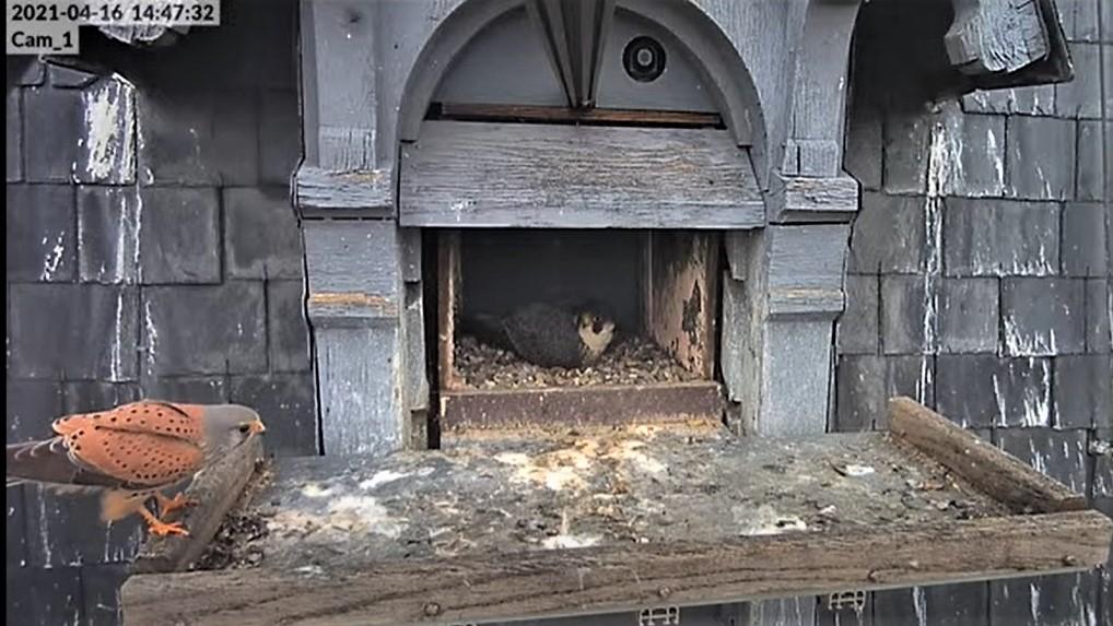 Les faucons pèlerins d'Illkirch-Graffenstaden. Lucky en Valentine. - Pagina 8 Captu213