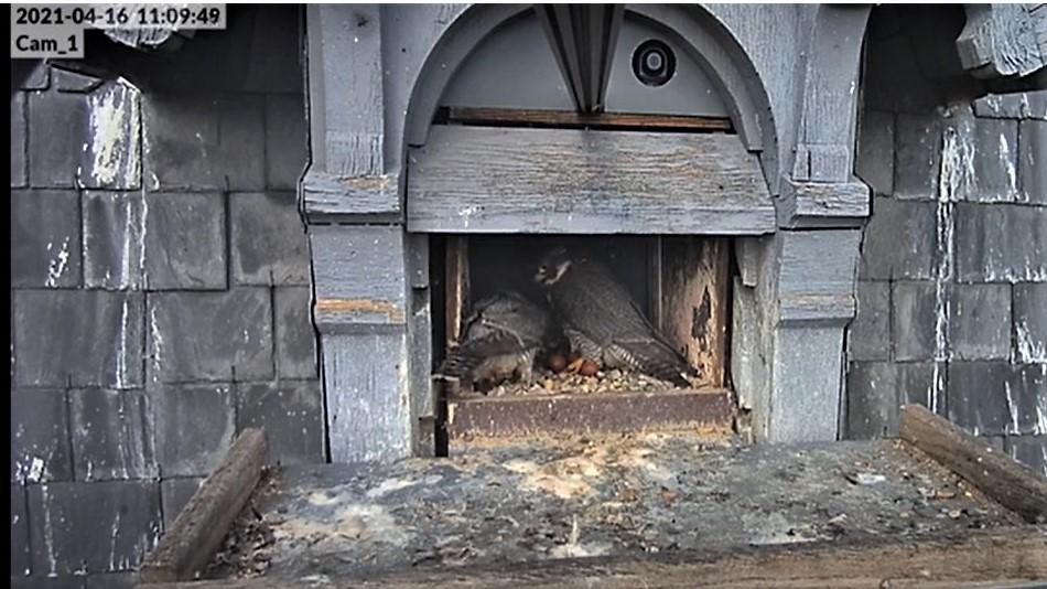 Les faucons pèlerins d'Illkirch-Graffenstaden. Lucky en Valentine. - Pagina 8 Captu215