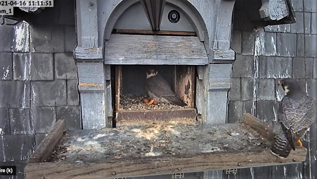 Les faucons pèlerins d'Illkirch-Graffenstaden. Lucky en Valentine. - Pagina 8 Captu218
