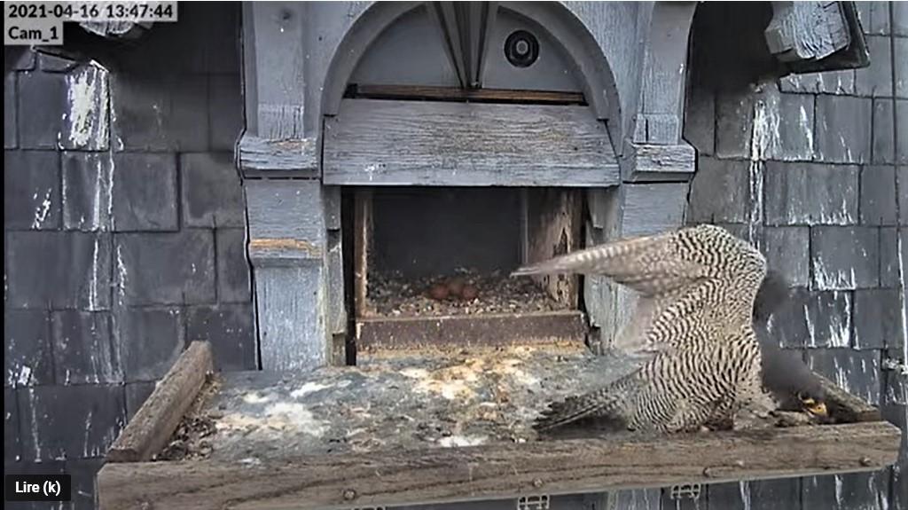 Les faucons pèlerins d'Illkirch-Graffenstaden. Lucky en Valentine. - Pagina 8 Captu220