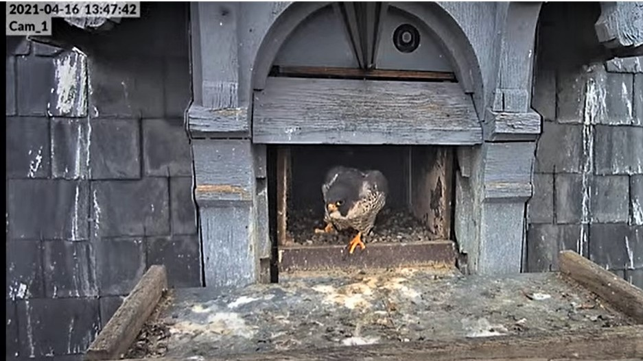 Les faucons pèlerins d'Illkirch-Graffenstaden. Lucky en Valentine. - Pagina 8 Captu221