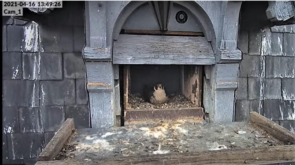 Les faucons pèlerins d'Illkirch-Graffenstaden. Lucky en Valentine. - Pagina 8 Captu224