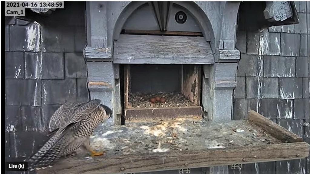 Les faucons pèlerins d'Illkirch-Graffenstaden. Lucky en Valentine. - Pagina 8 Captu225
