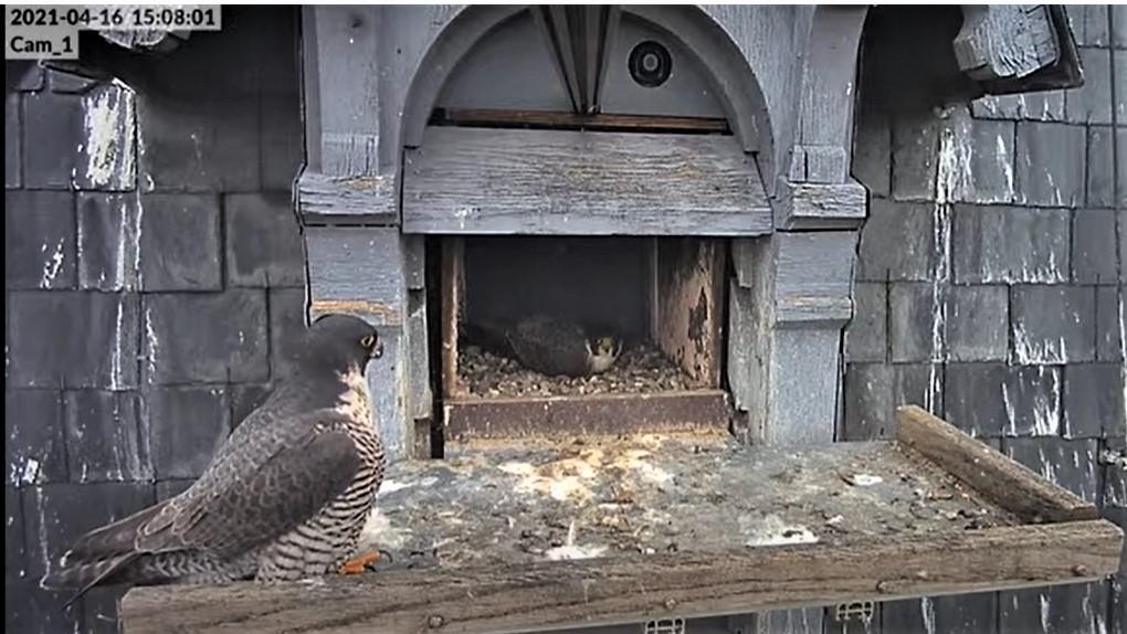 Les faucons pèlerins d'Illkirch-Graffenstaden. Lucky en Valentine. - Pagina 8 Captu227