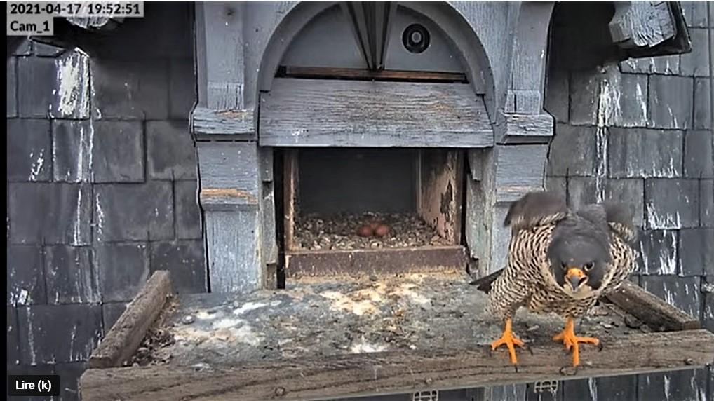 Les faucons pèlerins d'Illkirch-Graffenstaden. Lucky en Valentine. - Pagina 8 Captu235