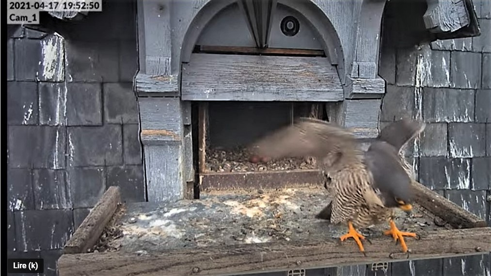 Les faucons pèlerins d'Illkirch-Graffenstaden. Lucky en Valentine. - Pagina 8 Captu236