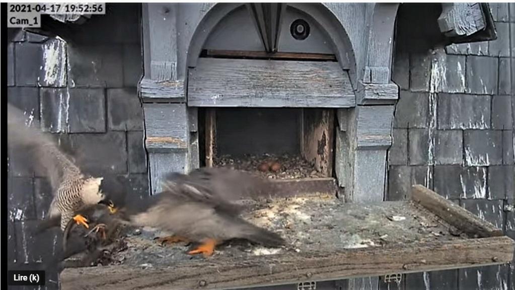 Les faucons pèlerins d'Illkirch-Graffenstaden. Lucky en Valentine. - Pagina 8 Captu238