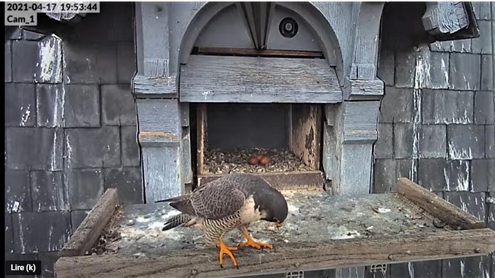 Les faucons pèlerins d'Illkirch-Graffenstaden. Lucky en Valentine. - Pagina 8 Captu239