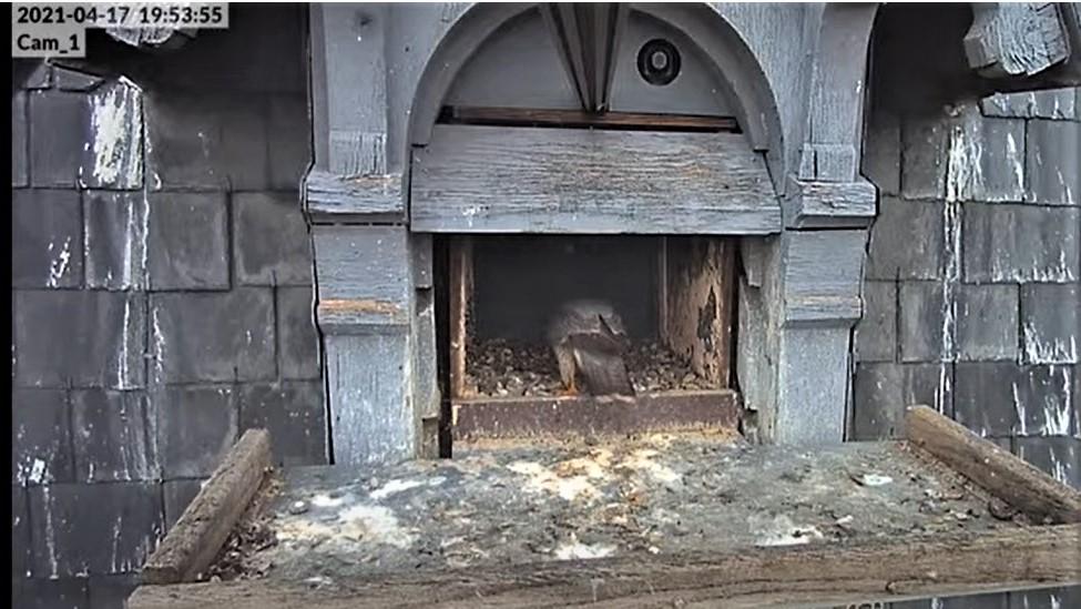 Les faucons pèlerins d'Illkirch-Graffenstaden. Lucky en Valentine. - Pagina 8 Captu240