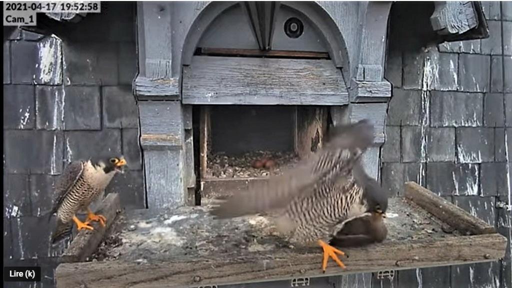 Les faucons pèlerins d'Illkirch-Graffenstaden. Lucky en Valentine. - Pagina 8 Captu241