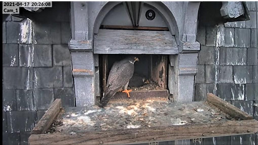 Les faucons pèlerins d'Illkirch-Graffenstaden. Lucky en Valentine. - Pagina 9 Captu245