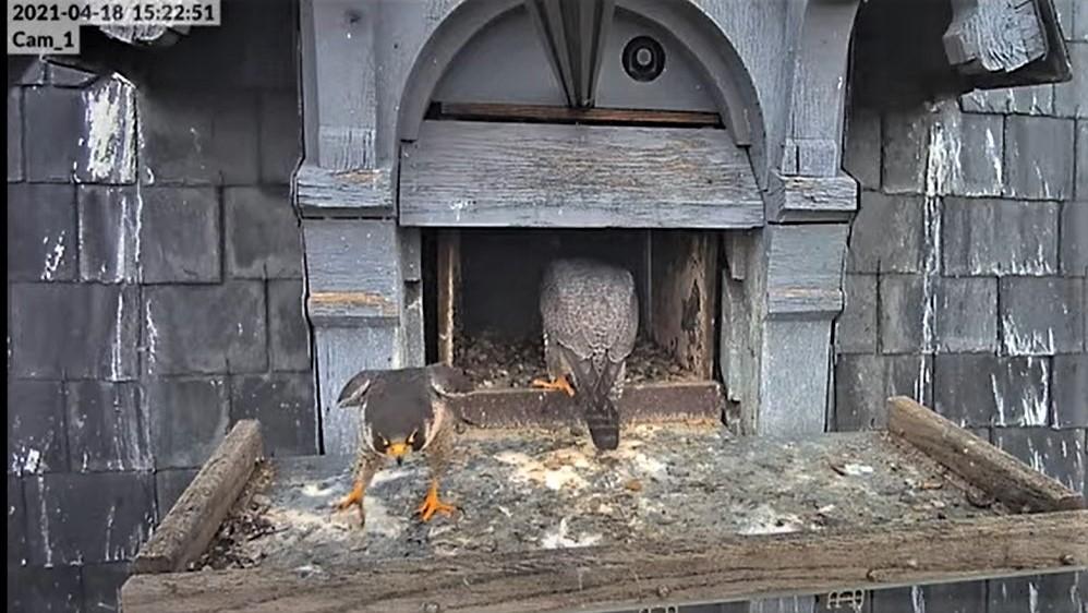 Les faucons pèlerins d'Illkirch-Graffenstaden. Lucky en Valentine. - Pagina 9 Captu256