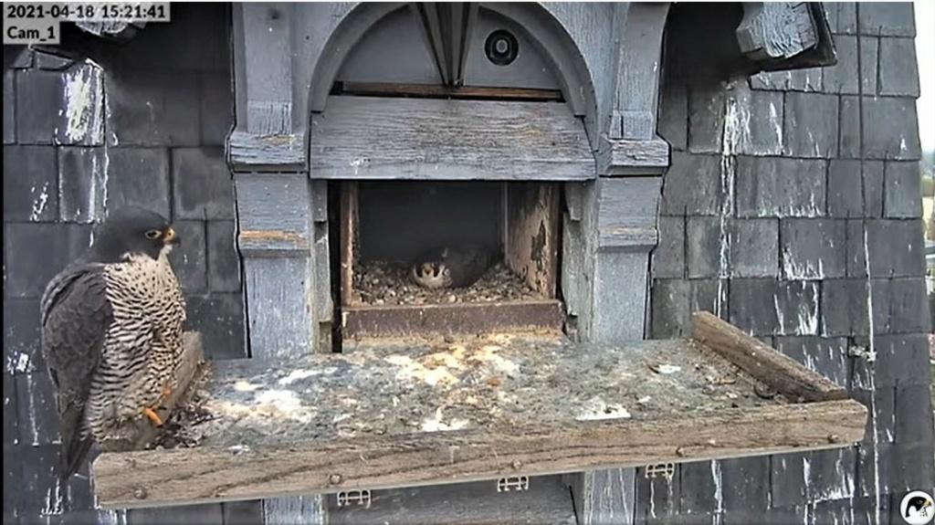 Les faucons pèlerins d'Illkirch-Graffenstaden. Lucky en Valentine. - Pagina 9 Captu257
