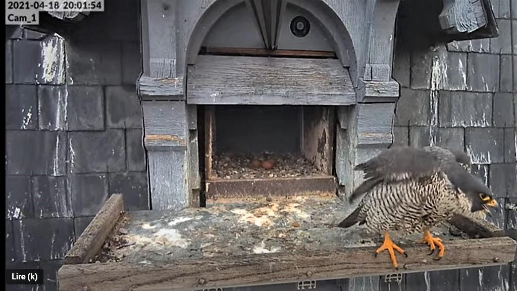 Les faucons pèlerins d'Illkirch-Graffenstaden. Lucky en Valentine. - Pagina 9 Captu260