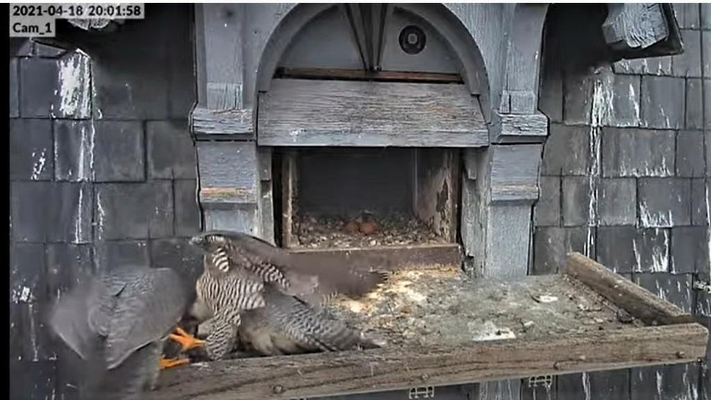 Les faucons pèlerins d'Illkirch-Graffenstaden. Lucky en Valentine. - Pagina 9 Captu261