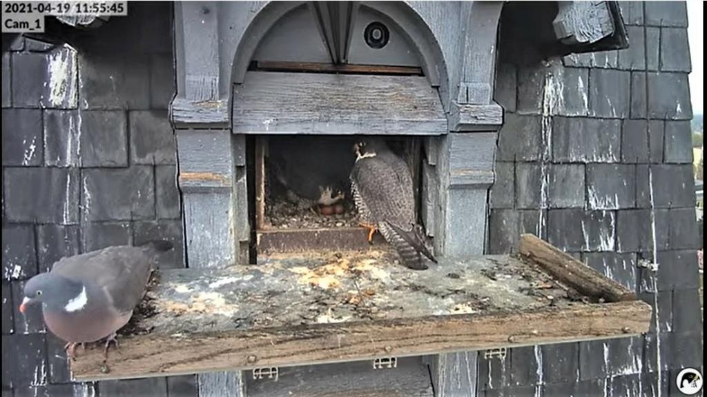 Les faucons pèlerins d'Illkirch-Graffenstaden. Lucky en Valentine. - Pagina 9 Captu271